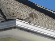 squirrel removal ottawa on